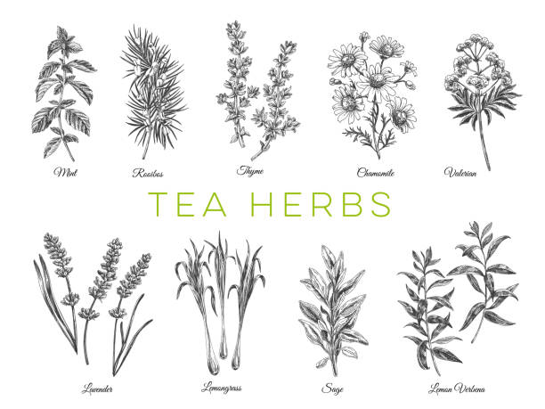 Beautiful vector hand drawn tea herbs Illustrations. Beautiful vector hand drawn tea herbs Illustrations. Detailed retro style images. Vintage sketch elements for labels, packaging and cards design. Modern background. lavender plant stock illustrations