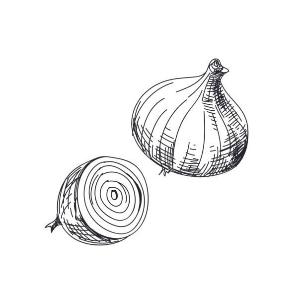 beautiful vector hand drawn vegetables illustration. - onion stock illustrations