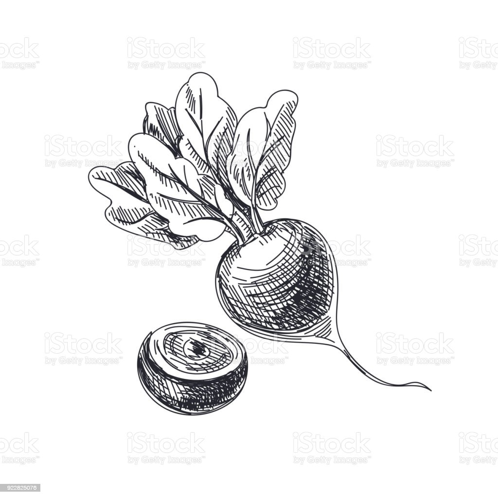 Beautiful vector hand drawn vegetables Illustration. vector art illustration
