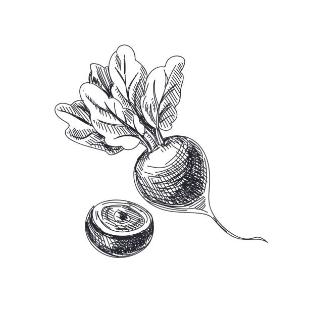 Beautiful vector hand drawn vegetables Illustration. Beautiful vector hand drawn vegetables Illustration. Detailed retro style beetroot image. Vintage sketch element for labels, packaging and cards design. beet stock illustrations