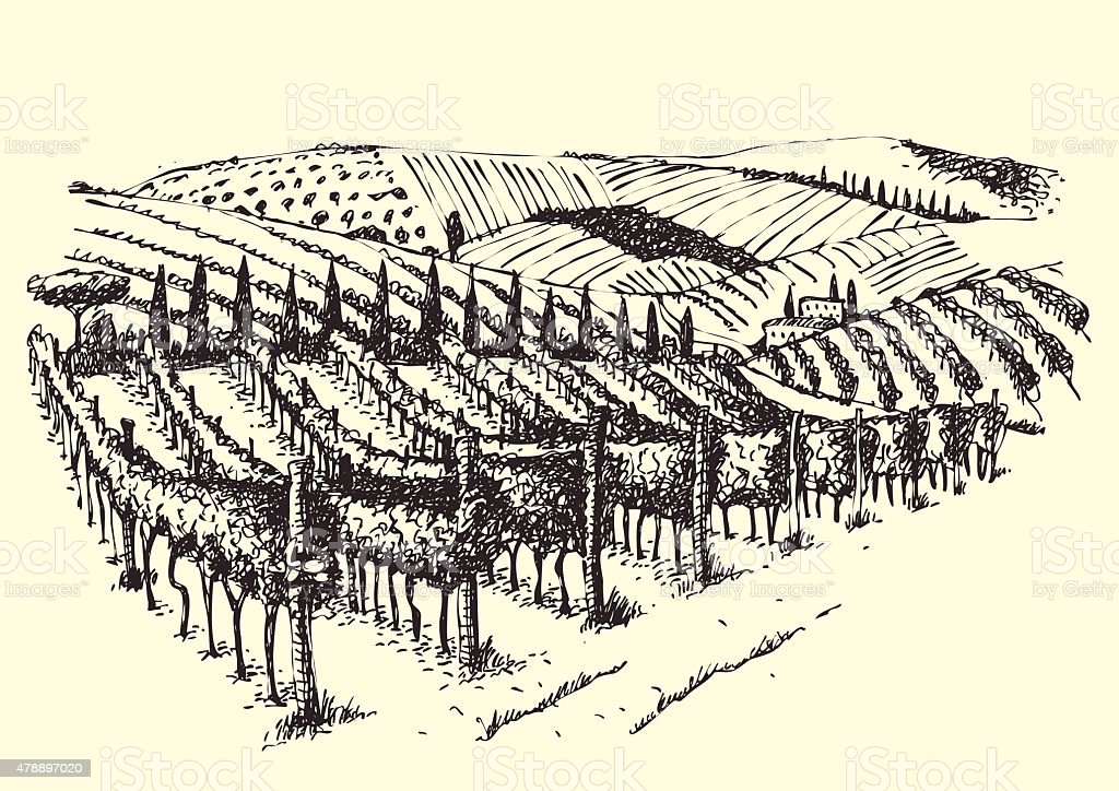 Beautiful Vineyard View In The Valley.