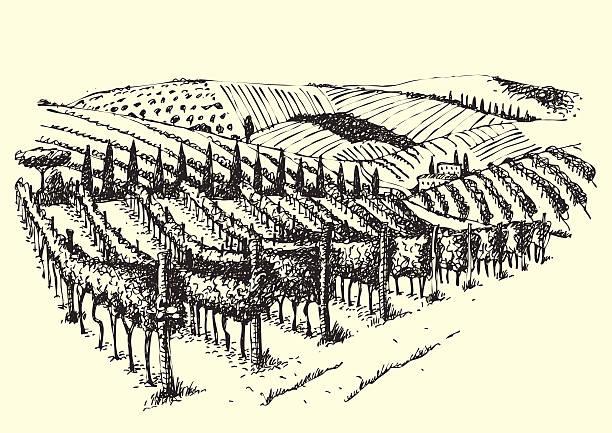 bildbanksillustrationer, clip art samt tecknat material och ikoner med beautiful vineyard view in the valley. - vineyard
