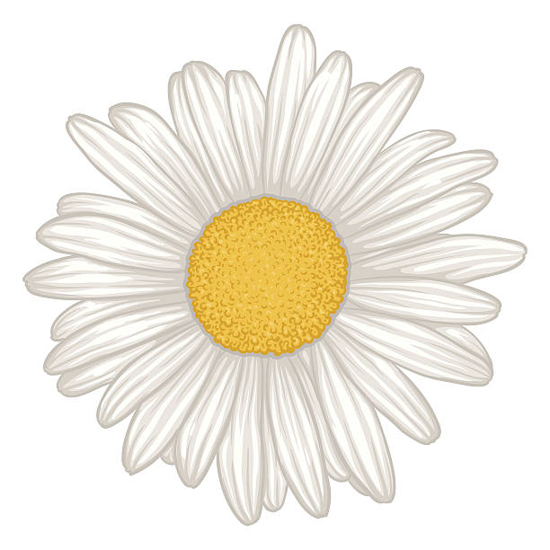 beautiful white daisy flower isolated. beautiful white daisy flower isolated. for greeting cards and invitations of wedding, birthday, mother's day and other seasonal holiday daisy stock illustrations
