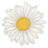 beautiful white daisy flower isolated.