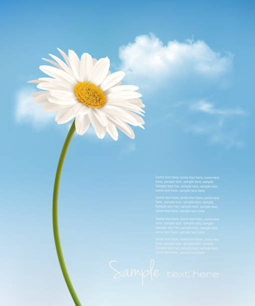 Beautiful white daisy in front of the blue sky. Vector. Beautiful white daisy in front of the blue sky. Vector. daisy stock illustrations