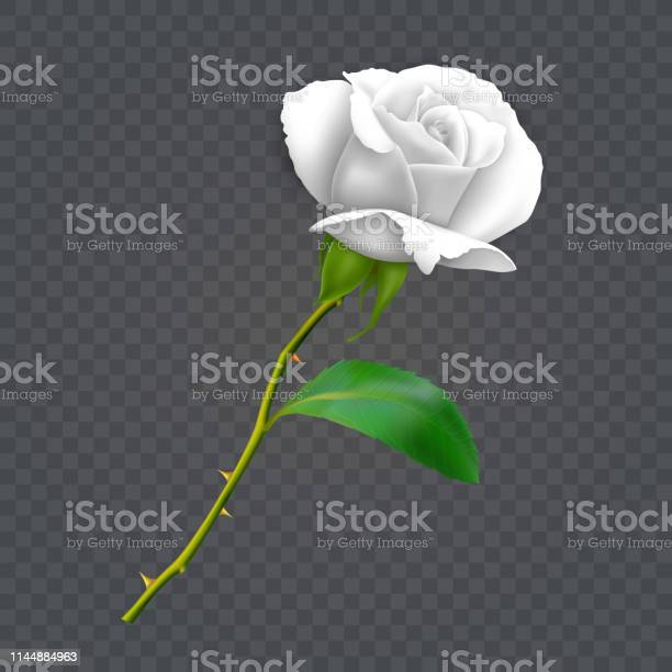 Beautiful white rose on long stem with leaf and thorns isolated on vector id1144884963?b=1&k=6&m=1144884963&s=612x612&h=elxuvyy0rtwzbc0zbt6yoky1tpwaazdpz kvahmmria=
