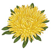 Beautiful yellow aster isolated on white background. for greeting cards and invitations of the wedding, birthday, Valentine's Day, mother's day and other seasonal holidays