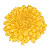 beautiful yellow chrysanthemum flower effect watercolor isolated on white background.