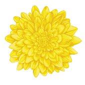 beautiful yellow dahlia isolated on white background.