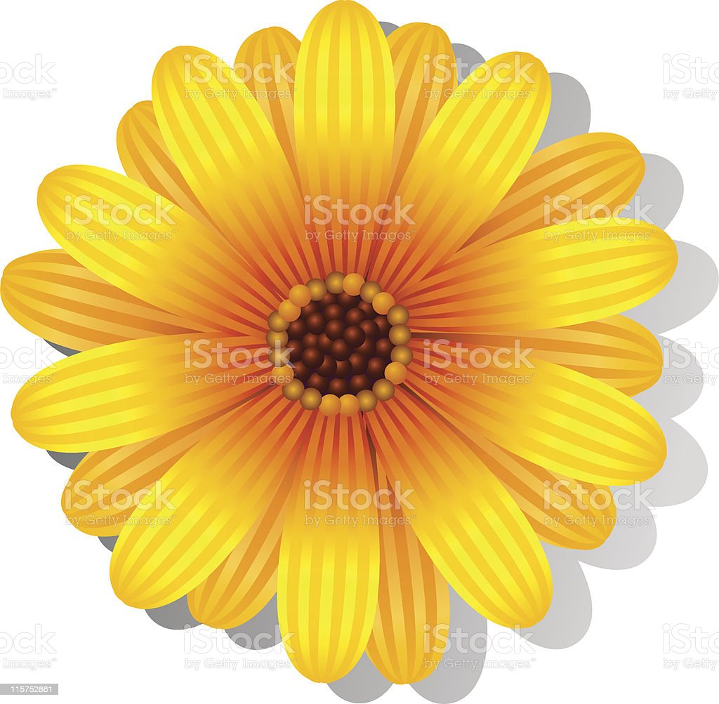 Beautiful yellow Gerber Daisy vector art illustration