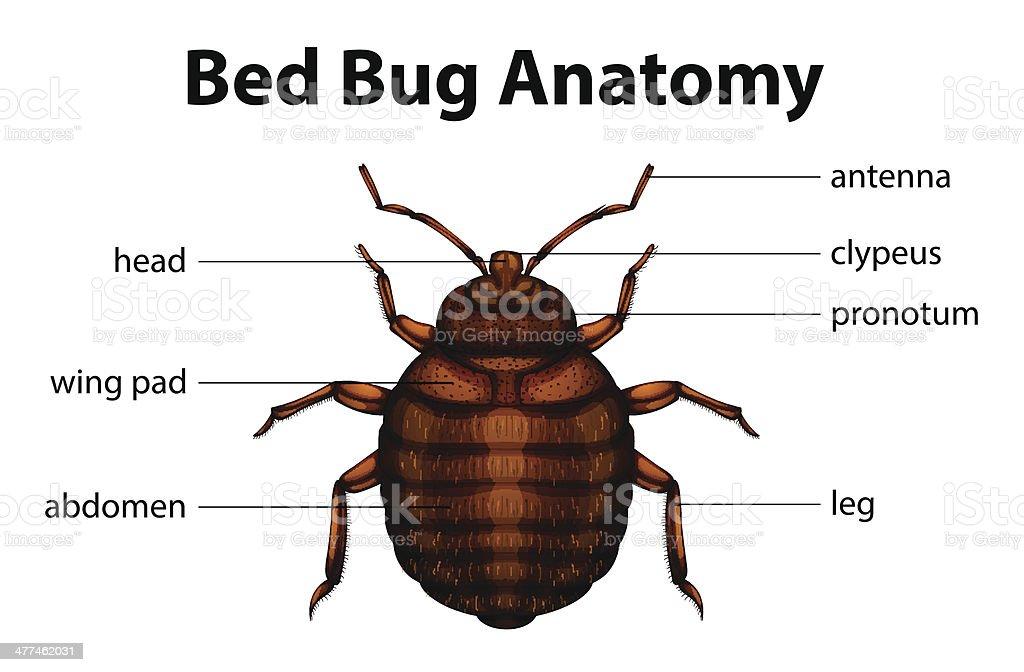 punaise de lit anatomie cliparts vectoriels et plus d 39 images de anatomie 477462031 istock. Black Bedroom Furniture Sets. Home Design Ideas