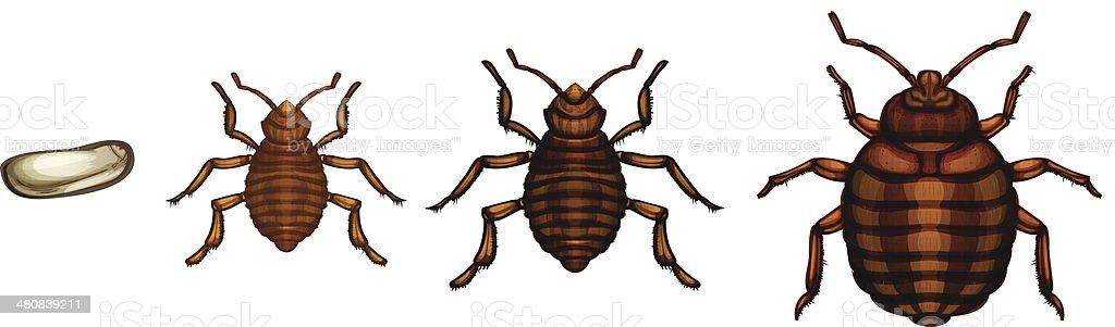 Bed Bug Life Cycle Cimex Lectularius Stock Illustration