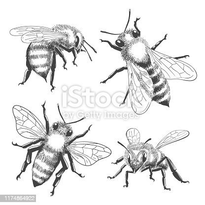 Bee engravings. Honey bee animals drawings isolated on white background, vintage black vector honeybee insects, hand drawn apis illustration