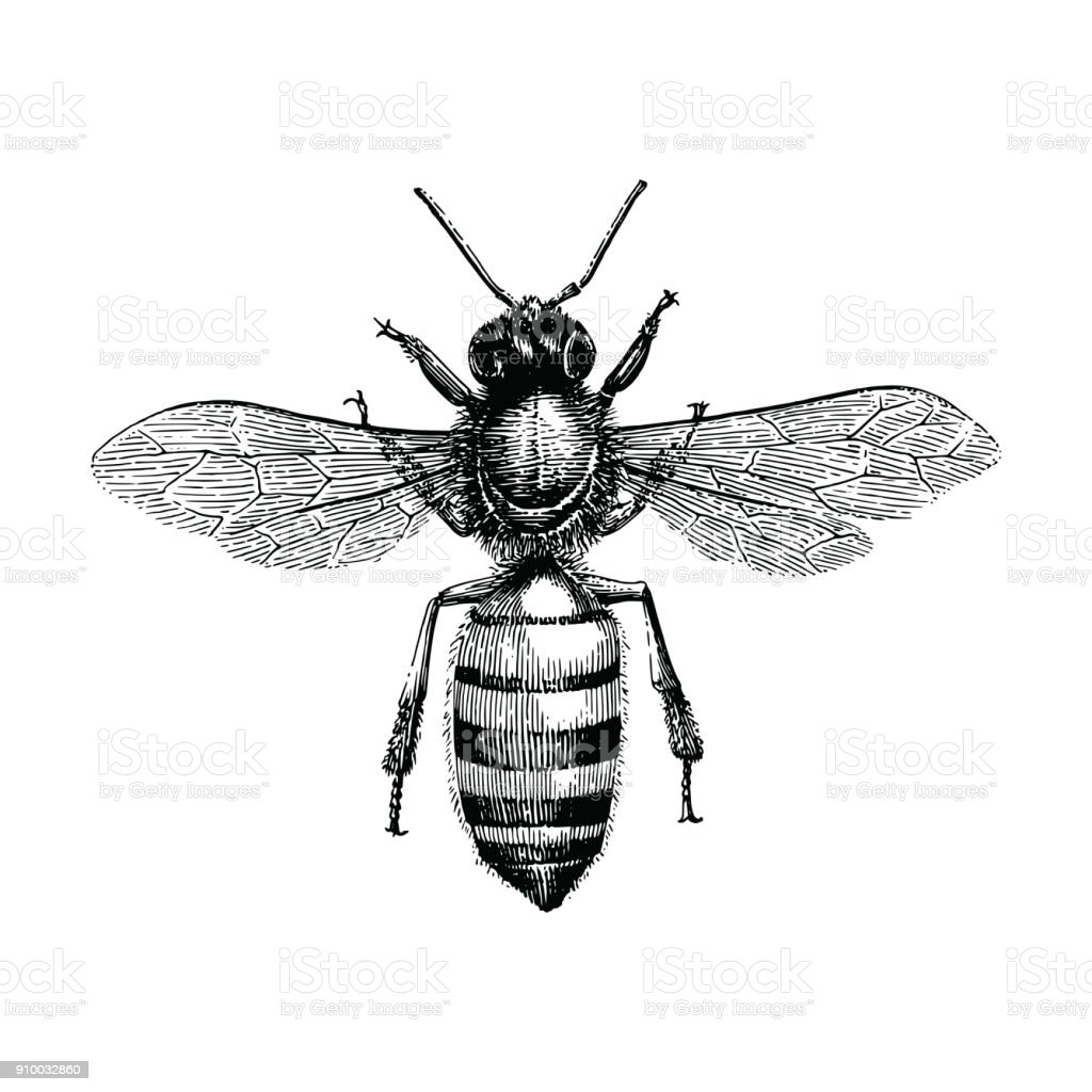 Bee hand drawing vintage engraving illustration isolate on white background – artystyczna grafika wektorowa
