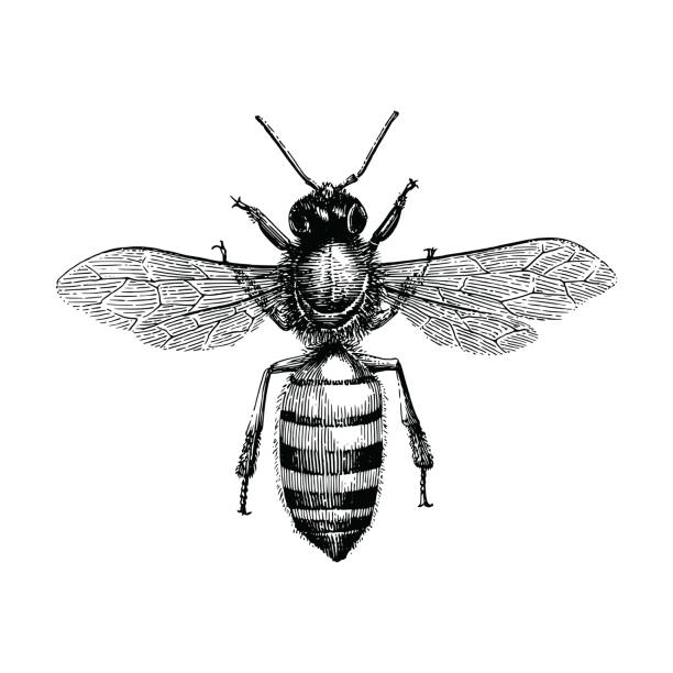 Bee hand drawing vintage engraving illustration isolate on white background vector art illustration