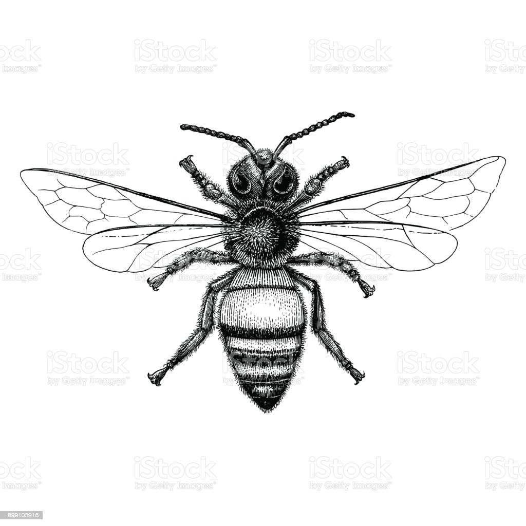 Biene Handzeichnung Vintage-Stil – Vektorgrafik