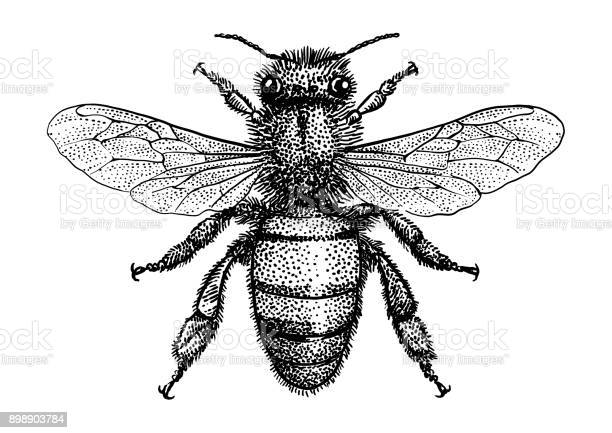 Bee illustration drawing engraving ink line art vector vector id898903784?b=1&k=6&m=898903784&s=612x612&h=uwcgdcey2xtbxj ino0whv6uqwkbrrxqtsx4mqwueza=