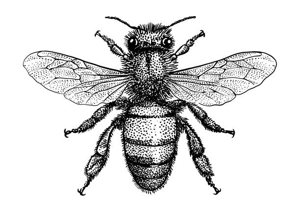 Bee illustration, drawing, engraving, ink, line art, vector Illustration, what made by ink, then it was digitalized. etching stock illustrations