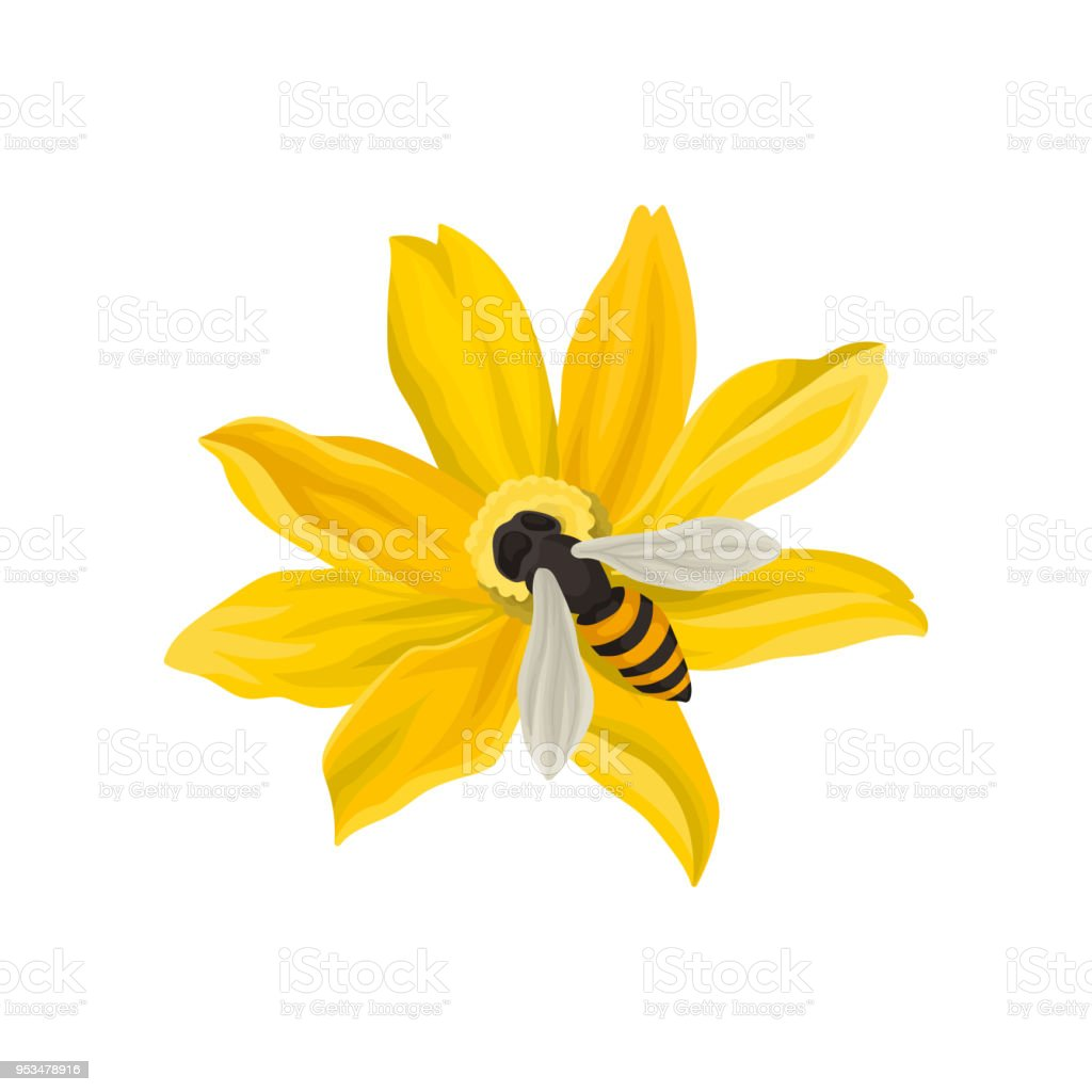 Bee pollinating beautiful flower flying insect with blackandyellow bee pollinating beautiful flower flying insect with black and yellow body flat izmirmasajfo