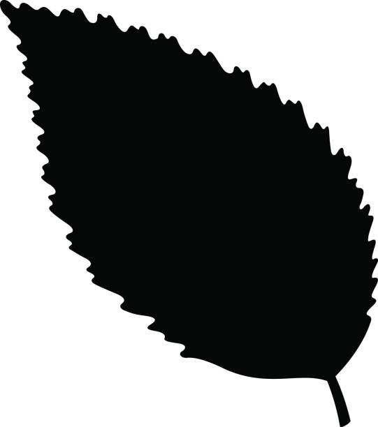 Royalty Free Beech Tree Clip Art, Vector Images ...