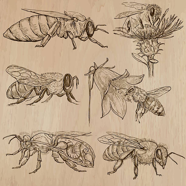 bees, beekeeping and honey - hand drawn vector pack 3 BEES, BEEKEEPING and HONEY. Collection of an hand drawn vector illustrations (pack no.3). Each drawing comprises of three or four layers of lines, the colored background is isolated. queen bee stock illustrations