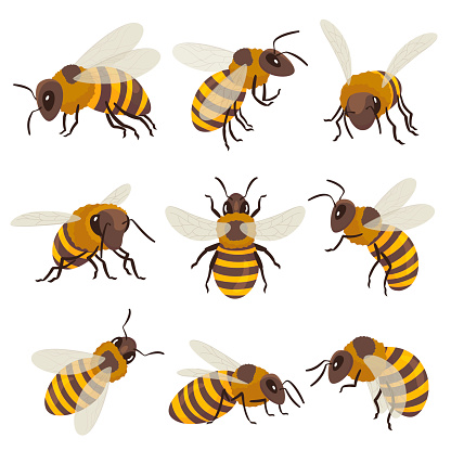 Bees set. Winged insect flying, sitting, creeping. Top, side, front view. Beekeeping, honeycraft, apiculture.