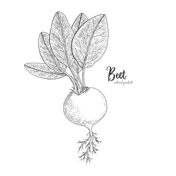 Beet hand drawn vector illustration. Isolated vegetable engraved style object. Detailed vegetarian food drawing. Farm market product. Great for menu, street festival, farmers market vector art illustration