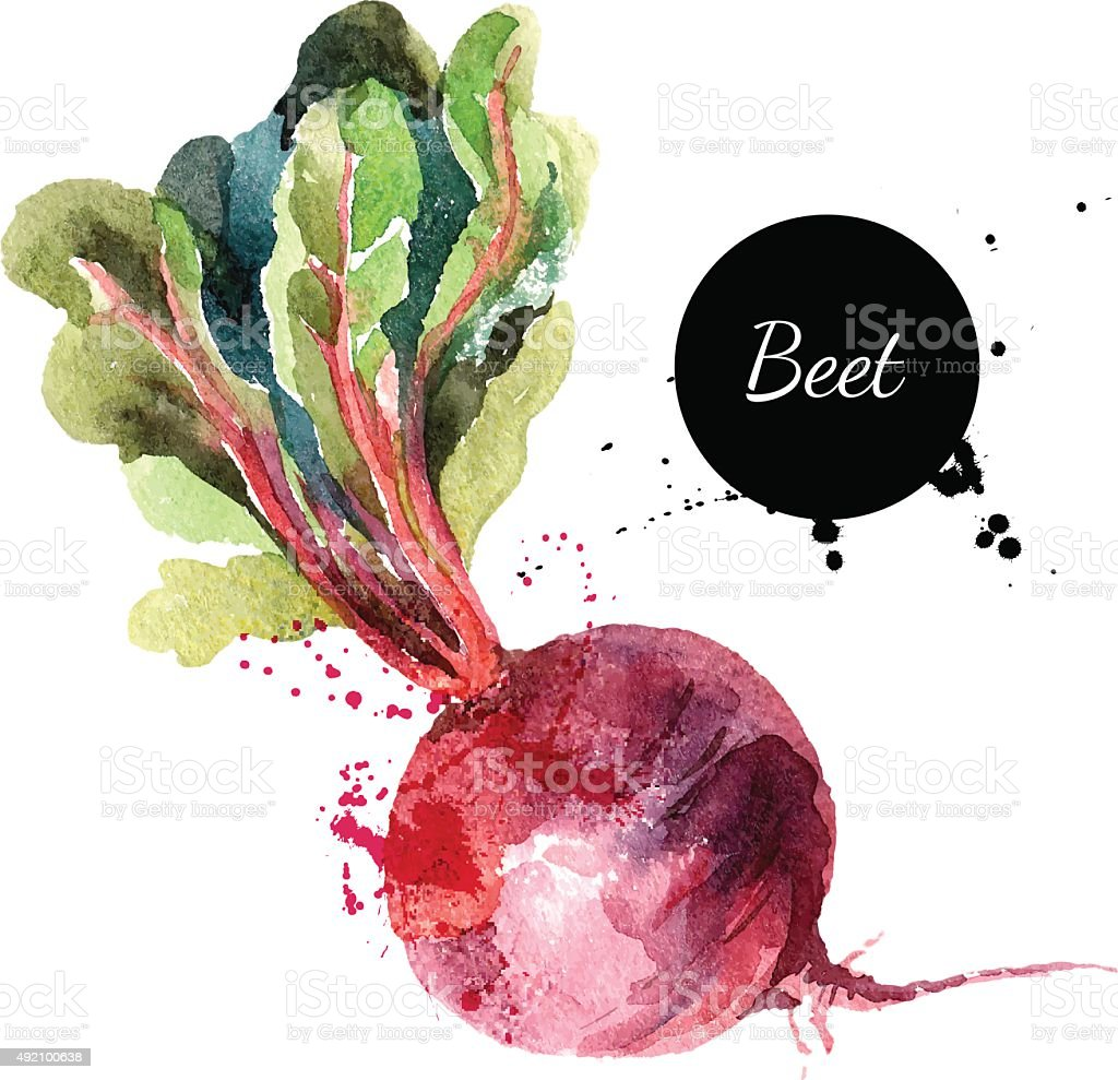 Beet. Hand drawn watercolor painting on white background. Vector vector art illustration