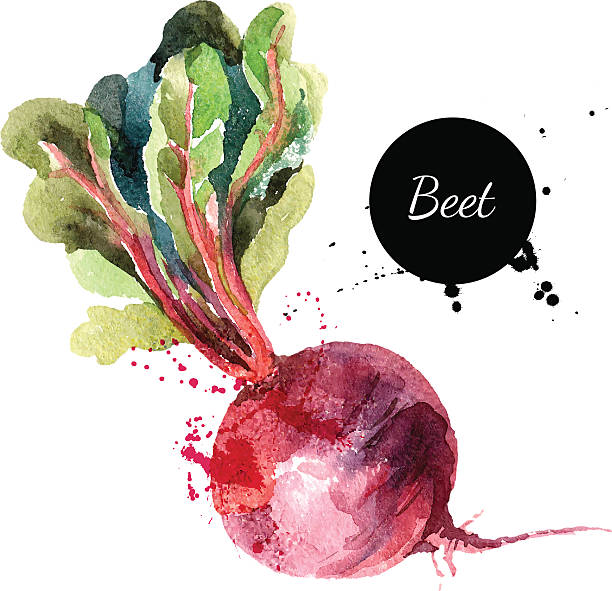 Beet. Hand drawn watercolor painting on white background. Vector Beet. Hand drawn watercolor painting on white background. Vector illustration beet stock illustrations