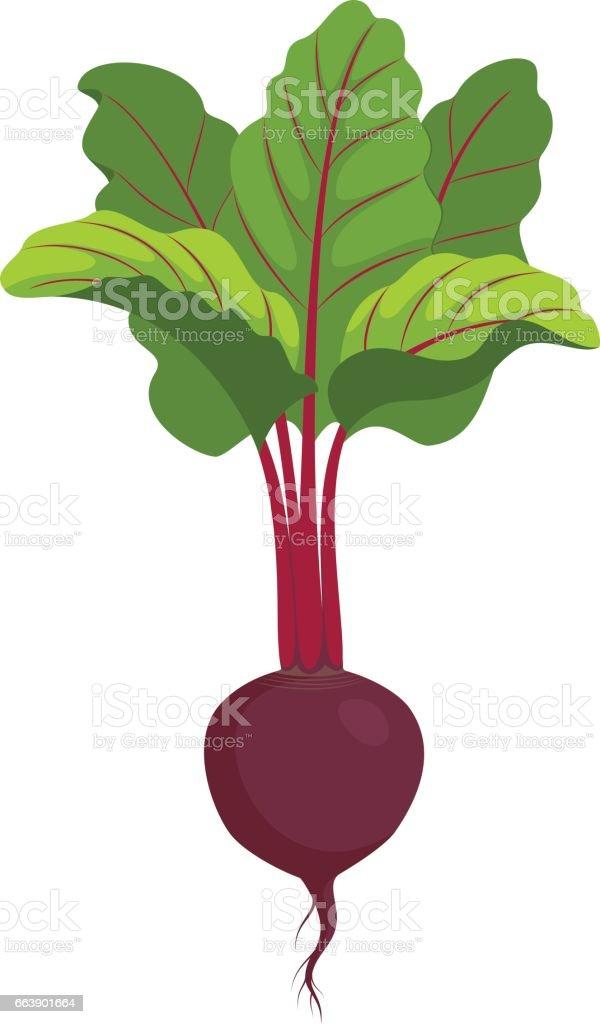 beet isolated vector art illustration