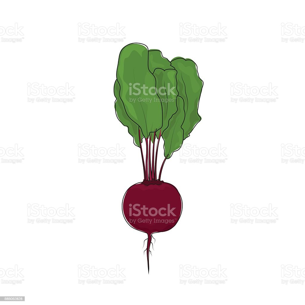 Beet Root Vegetable on White Background vector art illustration