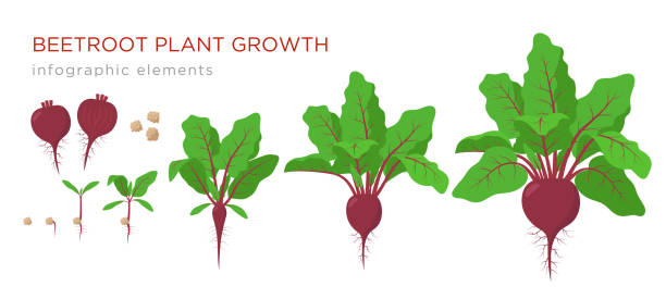 beetroot plant growth stages infographic elements. growing process of beets from seeds, sprout to mature plant with ripe fruit and roots, vector illustration of life cycle isolated on white background - root vegetable stock illustrations
