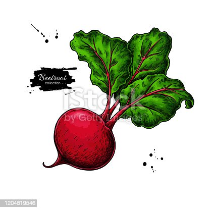 istock Beetroot vector drawing. Isolated hand drawn object. Vegetable illustration. Detailed vegetarian food 1204819546