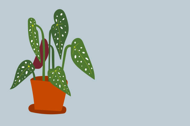 Begonia maculata houseplant illustration vector art illustration