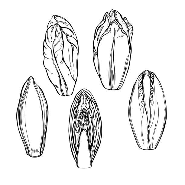 Belgian endive lettuce.  Vector sketch illustration Hand drawn Belgian endive lettuce.  Vector sketch illustration crucifers stock illustrations