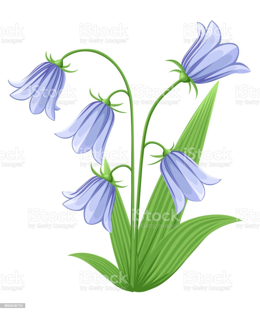Bellflowers Campanula Hand Drawn Vector Illustration Of Blue Bell