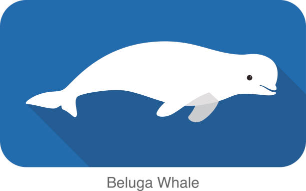 Beluga whale swimming in the water, vector illustration Beluga whale swimming in the water beluga whale stock illustrations
