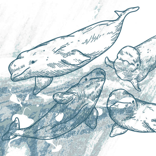 Belugas Belugas of the northern seas beluga whale stock illustrations