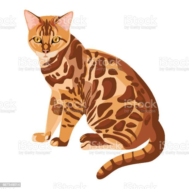 Bengal cat isolated on white selective breeding of domestic cats vector id667349014?b=1&k=6&m=667349014&s=612x612&h=rmptircrfhncdsztwureo02vj5gkhl40fmocznz1qhu=