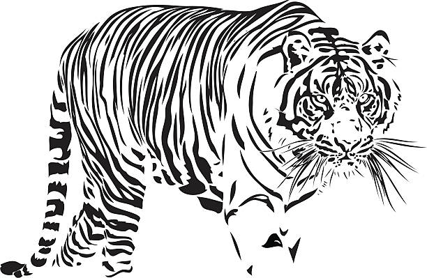 illustrations, cliparts, dessins animés et icônes de tigre du bengale illustration - tigre blanc