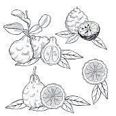 Hand drawn bergamot and tea leaves. Vector sketch  illustration.