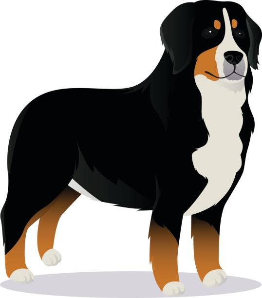 Bernes Mountain dog vector art illustration