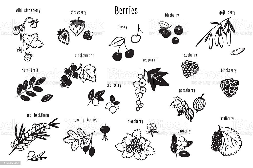 berries graphic vector set vector art illustration