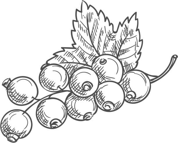 Berries of black currant fruit with leaf isolated Black currant fruit isolated berries and leaves. Vector blackcurrant food dessert, green leaf black currant stock illustrations