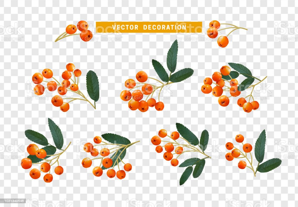 Berries rowan, realistic on branch with leaves effect transparent background vector art illustration