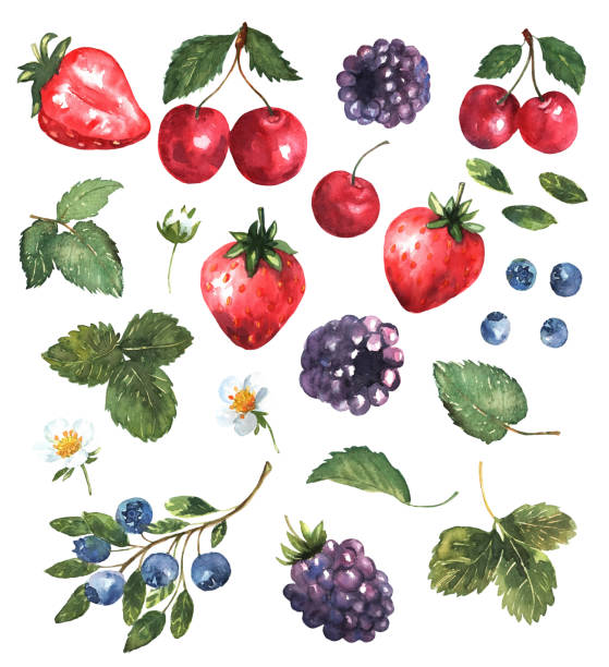 Berries set in watercolor. Colorful background with strawberries, blackberries, cherries and blueberries, flowers and leaves. Natural illustration. Spring blossom. Collection for print and cards. Vector. Berries set in watercolor. Colorful background with strawberries, blackberries, cherries and blueberries, flowers and leaves. Natural illustration. Spring blossom. Collection for print and cards. Vector berry fruit stock illustrations