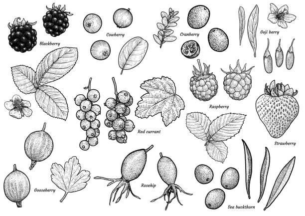 ilustraciones, imágenes clip art, dibujos animados e iconos de stock de ilustración de la colección de berry, dibujo, grabado, tinta, arte lineal, vectores - arándano rojo fruta baya