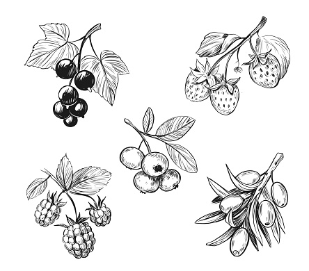 Berry sketch. Raspberry, blueberry, black currant, strawberry. Black vector outline on transparent background