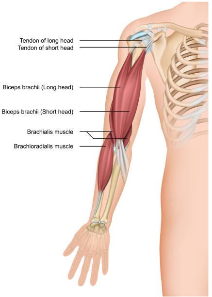 ilustrações de stock, clip art, desenhos animados e ícones de biceps and brachioradialis anatomy 3d medical vector illustration on white background - tronco nu