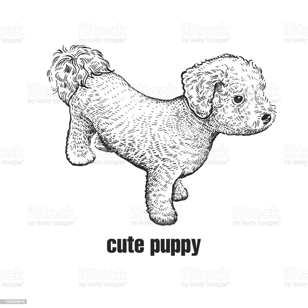 Bichon Frize Dog Cute Puppy Black And White Hand Drawing Stock Illustration Download Image Now Istock